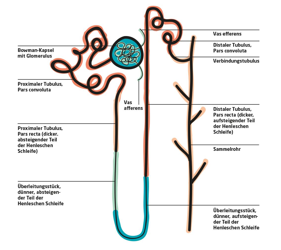 Der Aufbau der Nephrone