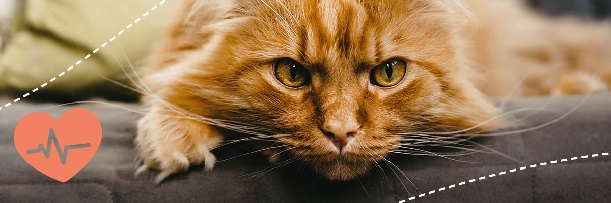Bluthochdruck bei Katzen mit Chronischer Nierenerkrankung
